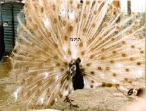 Cameo_pied_peacock_displaying-525x399