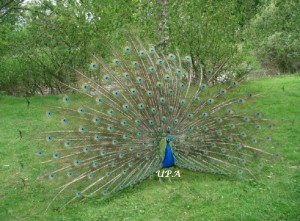 India_Blue_Peacock_UPA