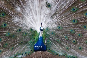 India_Blue_Pied_peacock_displaing_UPA