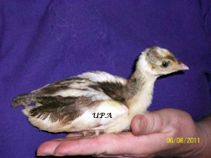 India_Blue_pied_peachick